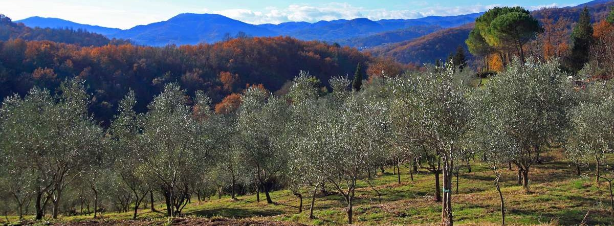 Olive Facts Quick Guide To Olive Growing Olive Oil Production