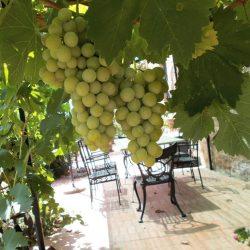 grapes 001